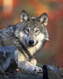 Волк   Символизм-символы - Значение символа Волк - Что символизирует ... 70f940e907318