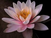 http://www.newacropol.ru/pub//symbols_new/lotus-2.jpg