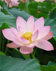 Цветок лотос что символизирует