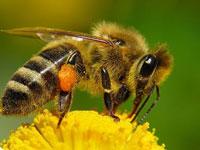 Пчелиный секрет может стать местным анестетиком