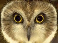 Есть у совы голова, к ней прикреплен клюв, ушей у совы.